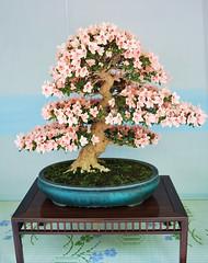 Bonsai florecido