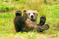 giant panda(0.0), animal(1.0), mammal(1.0), grizzly bear(1.0), fauna(1.0), brown bear(1.0), bear(1.0), wildlife(1.0),