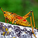 Eastern Lubber Grasshopper - Photo (c) Rafael Alvarez, some rights reserved (CC BY-NC-ND)