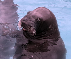 animal(1.0), seals(1.0), sea lion(1.0), marine mammal(1.0), walrus(1.0), marine biology(1.0), harbor seal(1.0),