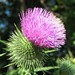 Spear Thistle - Photo (c) beautifulcataya, some rights reserved (CC BY-NC-ND)