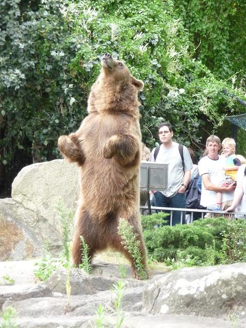 Brown bear posing