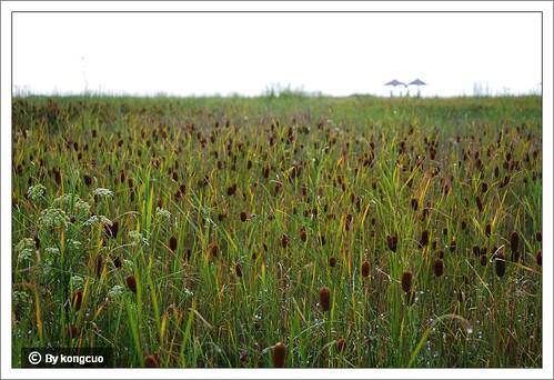 内蒙古植物照片-小香蒲,香蒲科香蒲属。