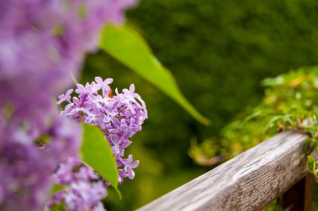syringa flieder lilac flickr photo sharing. Black Bedroom Furniture Sets. Home Design Ideas