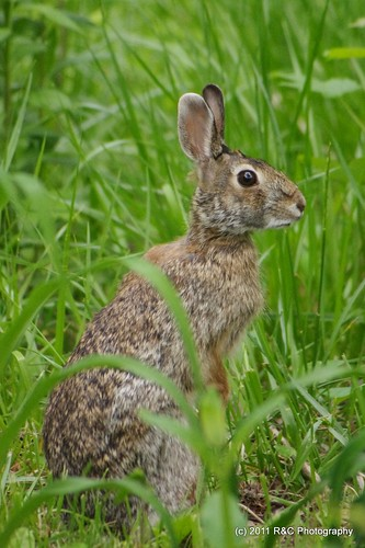 bunny rodent hare rabbits goldenfinch