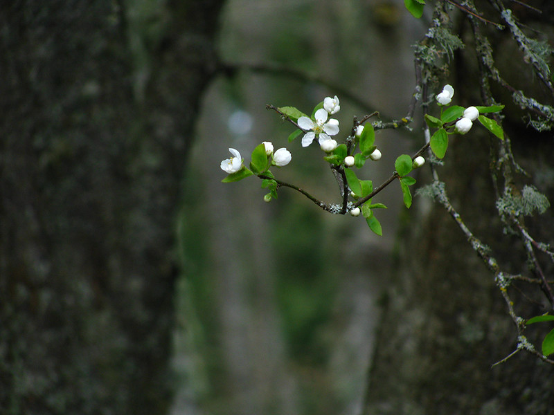 Cherry Plum Flowers in the Woods