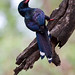 Green Red-billed Wood Hoopoe
