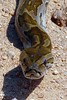 "<a href=""http://www.flickr.com/photos/arnolouise/3389476535/"">Photo of Python sebae by Arno Meintjes</a>"