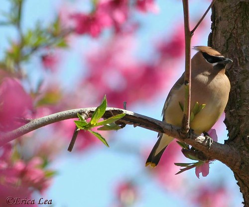 """Hidden Beauty"" Cedar Waxwing"