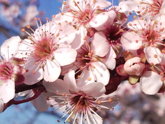 shrub(0.0), cherry(0.0), plant(0.0), produce(0.0), fruit(0.0), food(0.0), blossom(1.0), flower(1.0), branch(1.0), flora(1.0), cherry blossom(1.0), spring(1.0), petal(1.0),
