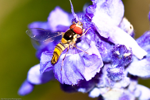 flowers macro nature bees insects april 2009 hoverfly canon100mmf28macrousm