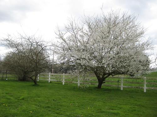tree, fruit tree, flowers, blossoms, flower… IMG_1829