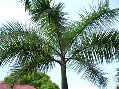 St. Maarten - Palm