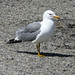 California Gull - Photo (c) docentjoyce, some rights reserved (CC BY)