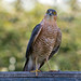 Eurasian Sparrowhawk - Photo (c) Jonathan Bliss, some rights reserved (CC BY-NC-SA)