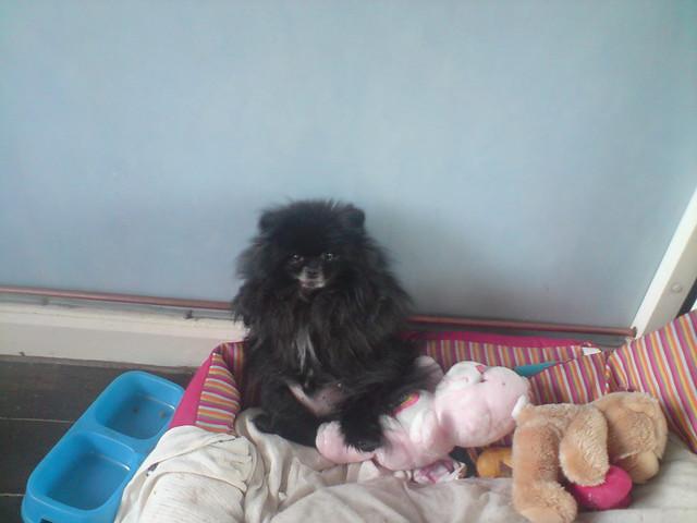 chico black pomeranian   Flickr - Photo Sharing!
