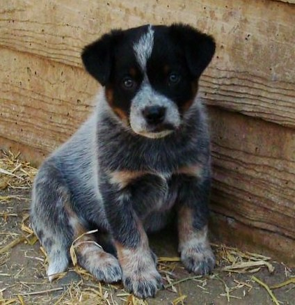 Australian Cattle Dog (Blue Heeler) Puppy