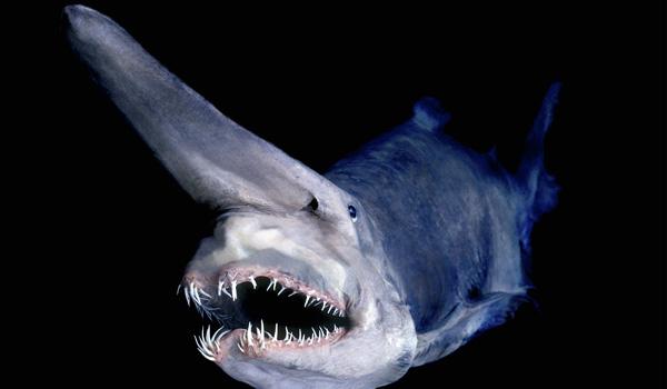 Tiburones duendes