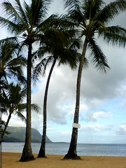 coconut palms at the princeville hotel   DSC01815