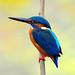 Common Kingfisher by Dr. Tarak N Khan