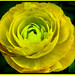 Yellow Ranunculus.