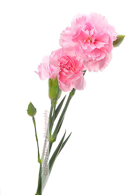 3 D303625 Carnation Botany Flower Mother S Day Pink