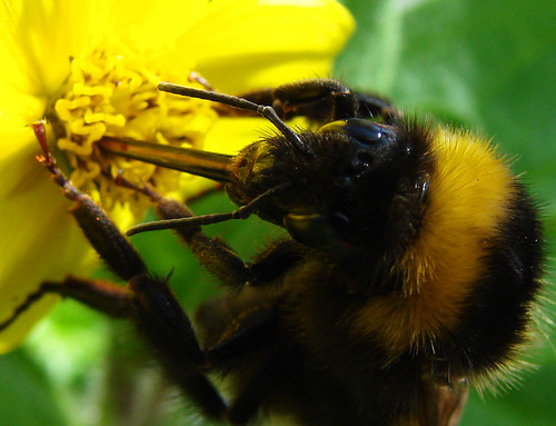 Bumble Bee Extracting Nectar