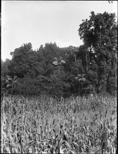 A country scene of a maize or corn field with eucalypts and tall palm trees