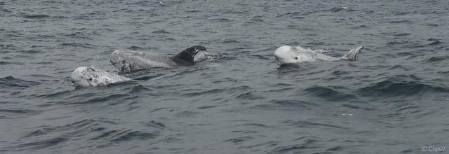 Delfín gris (Grampus griseus)