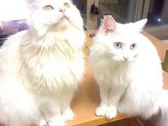 napoleon cat(0.0), burmilla(0.0), birman(0.0), domestic short-haired cat(0.0), domestic long-haired cat(1.0), animal(1.0), persian(1.0), turkish van(1.0), british semi-longhair(1.0), small to medium-sized cats(1.0), pet(1.0), turkish angora(1.0), ragdoll(1.0), cat(1.0), carnivoran(1.0), norwegian forest cat(1.0),