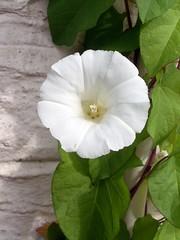 annual plant(1.0), ipomoea violacea(1.0), flower(1.0), leaf(1.0), ipomoea alba(1.0), flora(1.0), petal(1.0),