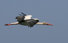 pelican(0.0), animal(1.0), wing(1.0), fauna(1.0), ciconiiformes(1.0), white stork(1.0), beak(1.0), bird(1.0), flight(1.0),