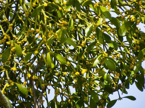 Mistletoe flowering