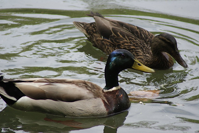Ducks from Flickr via Wylio