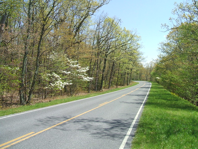 Dogwood on Skyline Drive