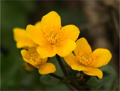 Marsh Marigold  - Harbinger of Spring