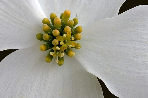 Dogwood Flower (Color)