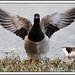 SHOWOFF : LIGHTBELLIED BRENT GOOSE BIRD