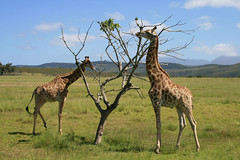 animal, prairie, plain, giraffe, fauna, giraffidae, savanna, grassland, safari, wildlife,