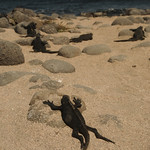 Lizard Sunbathing - Galapagos Islands