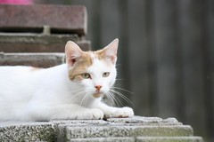 White red cat