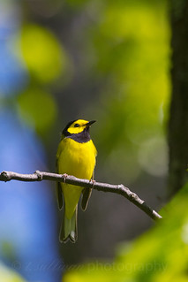 Hooded Warbler (Shenandoah National Park)