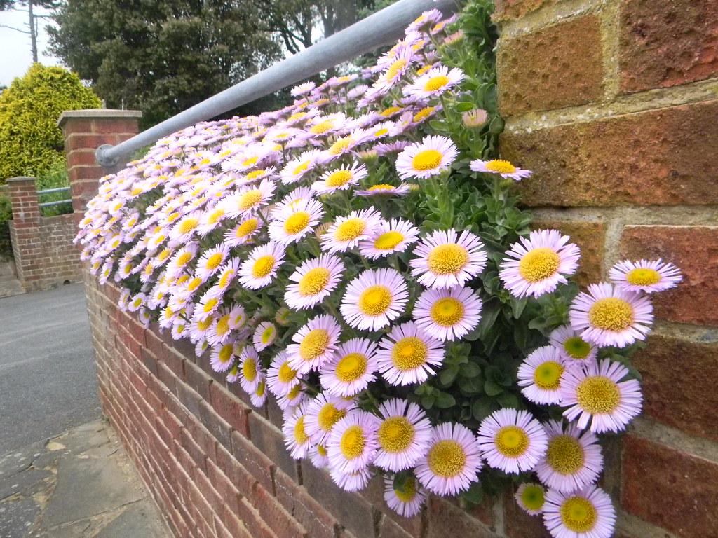 Mesembryanthemum St Margarets Bay, Deal to Dover
