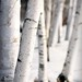 Birches in their Winter White