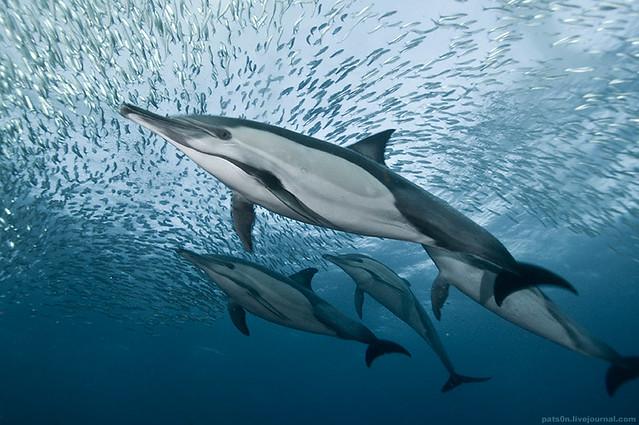the sardine run #32