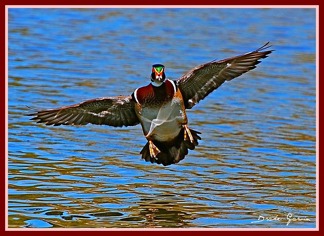Flying Male Wood Duck | Explore d.r.garvin's photos on ... Wood Ducks Flying