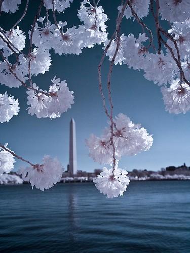 DC Cherry Blossom Festival in Infrared