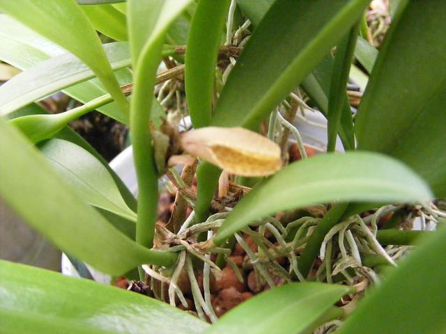 Restrepiella ophiocephala 4-09a