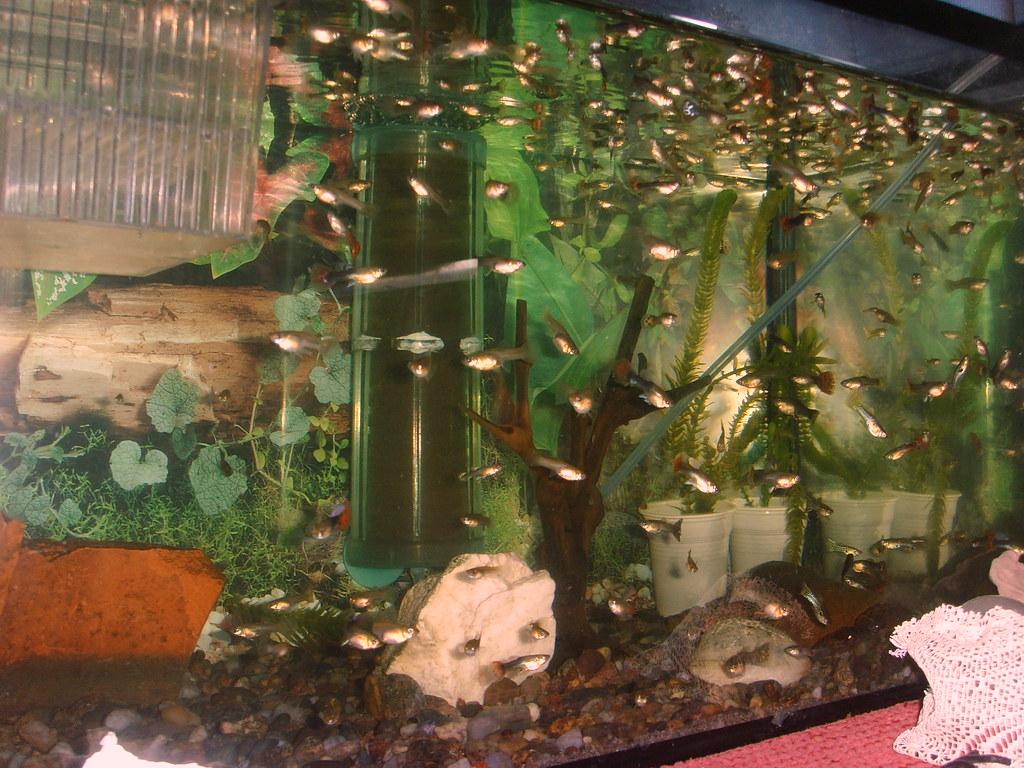 Guppy fish in 5 gallon tank gallon nano tank 2017 fish for How many fish can be in a 20 gallon tank