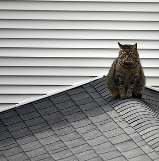 cat on a cold shingled roof